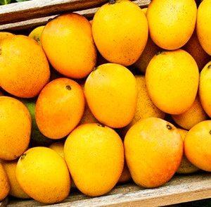 Best quality alphonso mango