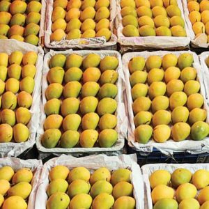 Indian Alphonso Mangoes