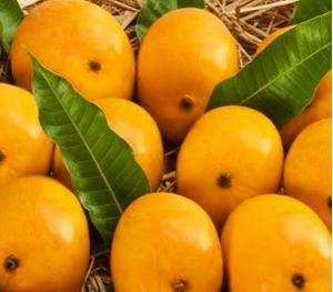 alphonso mango price per kg