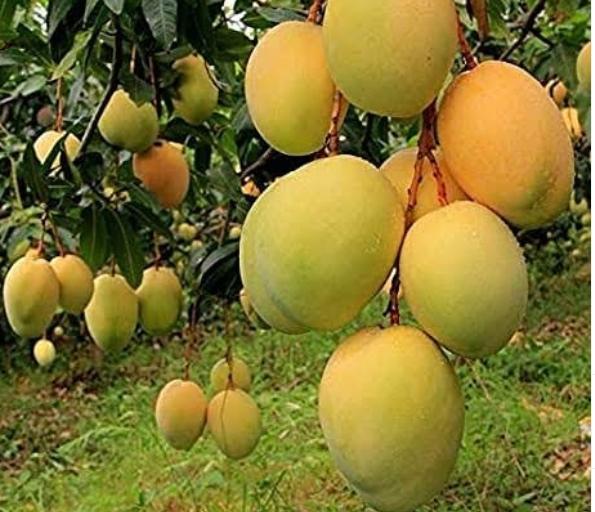 buy devgad mangoes, devgad mangoes,