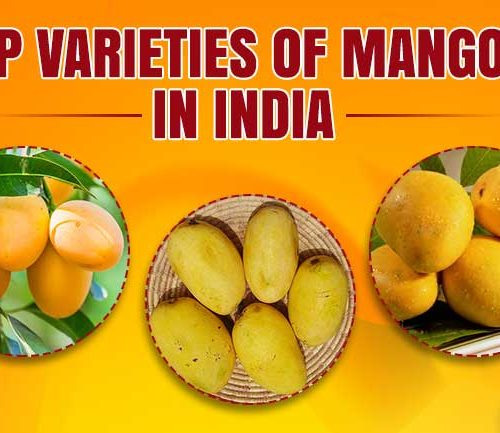 King of Fruits Mango and Its Top Varieties Of Mangoes in India