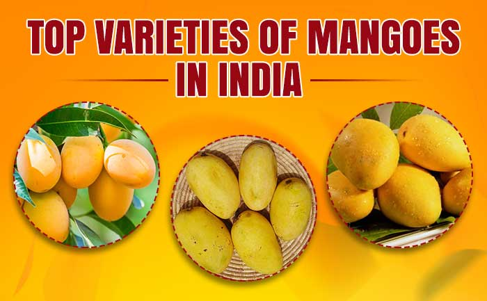 varieties of mangoes, types of mangoes with pictures,