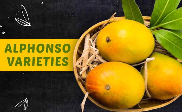 alphonso mangoes, devgad alphonso mangoes, alphonso mangoes varieties,