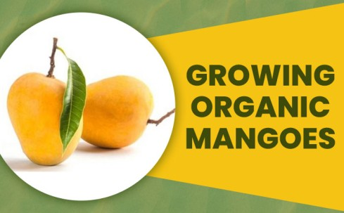 organic mangoes online, benefits of organic mangoes, buy farm fresh mangoes online,