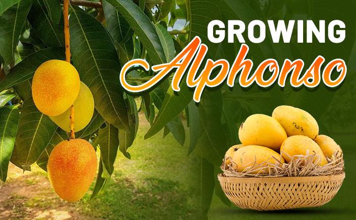 Alphonso Mangoes: How long mango tree takes to bear fruits